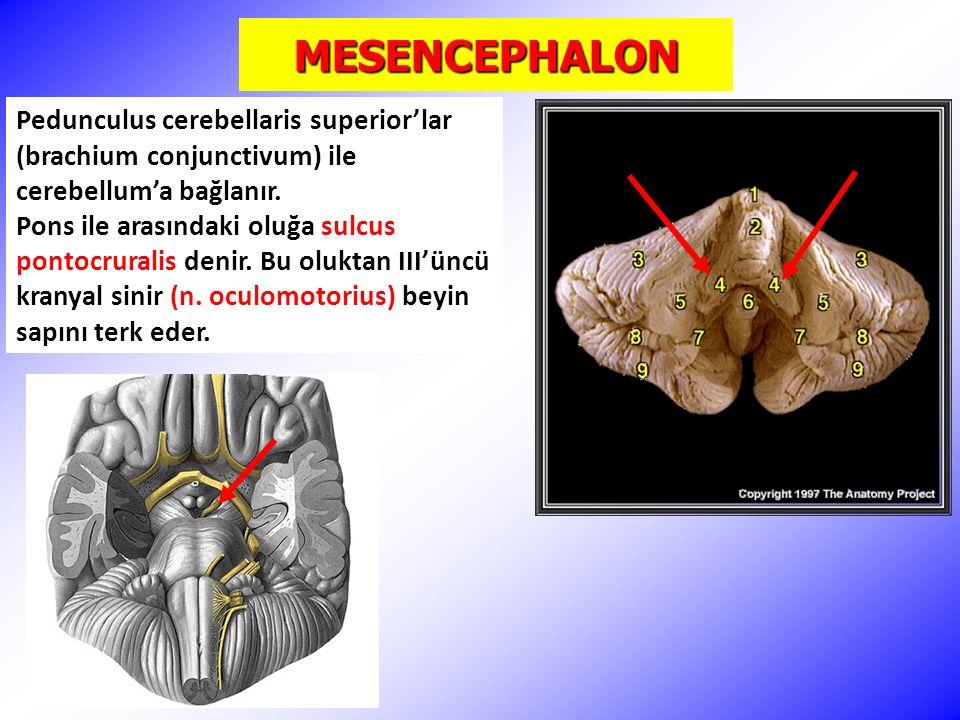 MESENCEPHALON (ÇEKİRDEKLER) Cajal'ın interstisyel çekirdeği; yavaş rotasyonel ve vertikal göz hareketleri ve düz pursuit göz hareketleri ile ilgili aksesuar okulomotor çekirdektir.