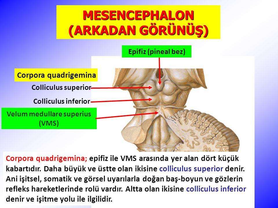 MESENCEPHALON (ARKADAN GÖRÜNÜŞ) Corpora quadrigemina Epifiz (pineal bez) Colliculus superior Colliculus inferior Corpora quadrigemina; epifiz ile VMS arasında yer alan dört küçük kabartıdır.