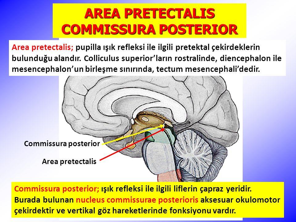 Commissura posterior Area pretectalis AREA PRETECTALIS COMMISSURA POSTERIOR Area pretectalis; pupilla ışık refleksi ile ilgili pretektal çekirdeklerin bulunduğu alandır.