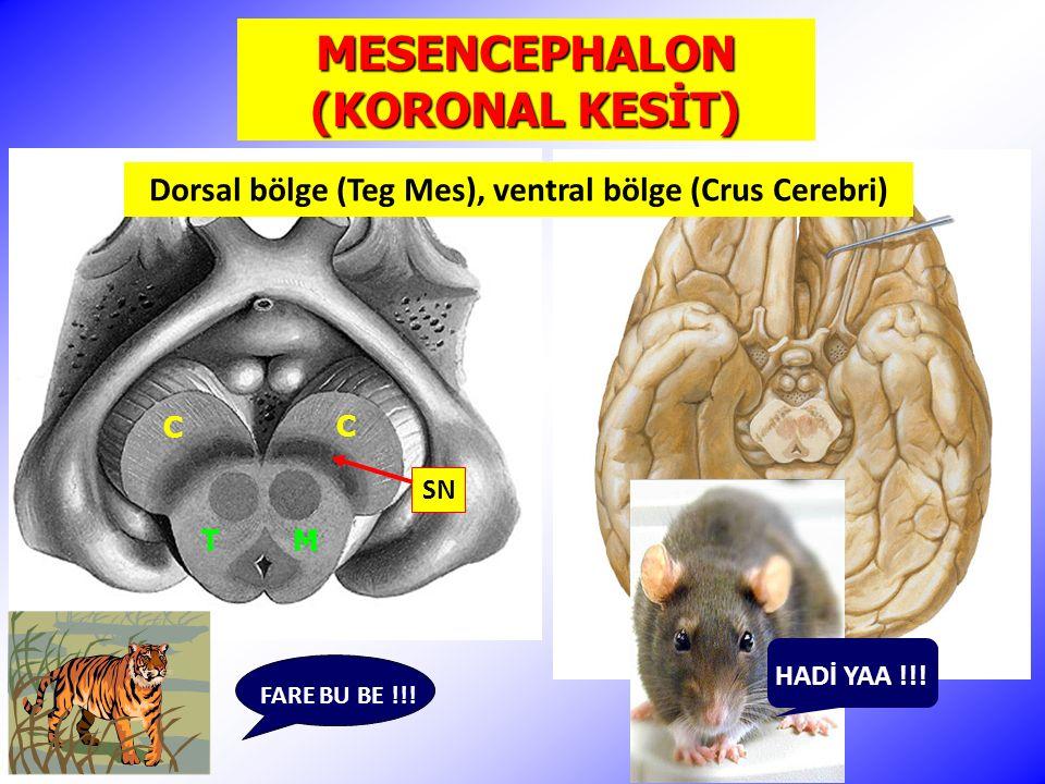 MESENCEPHALON (KORONAL KESİT) FARE BU BE !!.C C T M HADİ YAA !!.