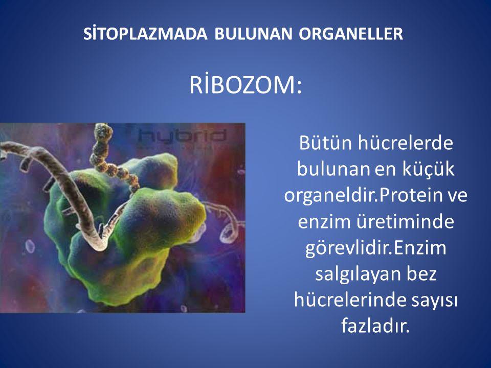 SİTOPLAZMADA BULUNAN ORGANELLER RİBOZOM: Bütün hücrelerde bulunan en küçük organeldir.Protein ve enzim üretiminde görevlidir.Enzim salgılayan bez hücrelerinde sayısı fazladır.