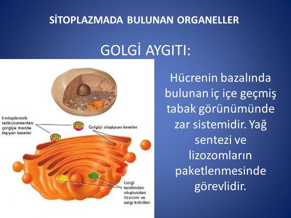 SİTOPLAZMADA BULUNAN ORGANELLER GOLGİ AYGITI: Hücrenin bazalında bulunan iç içe geçmiş tabak görünümünde zar sistemidir.