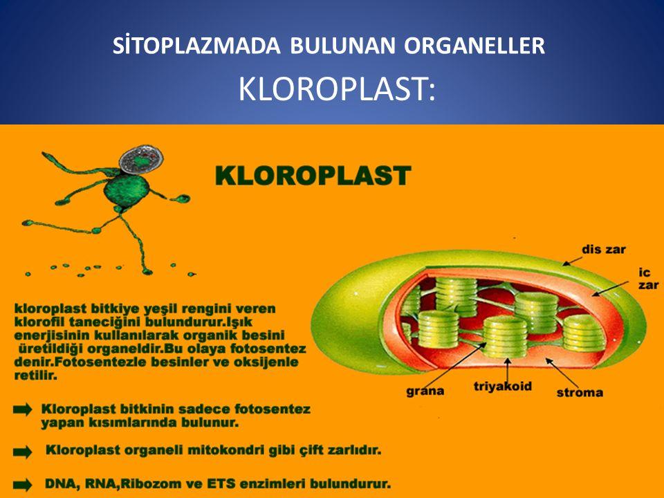 SİTOPLAZMADA BULUNAN ORGANELLER KLOROPLAST: