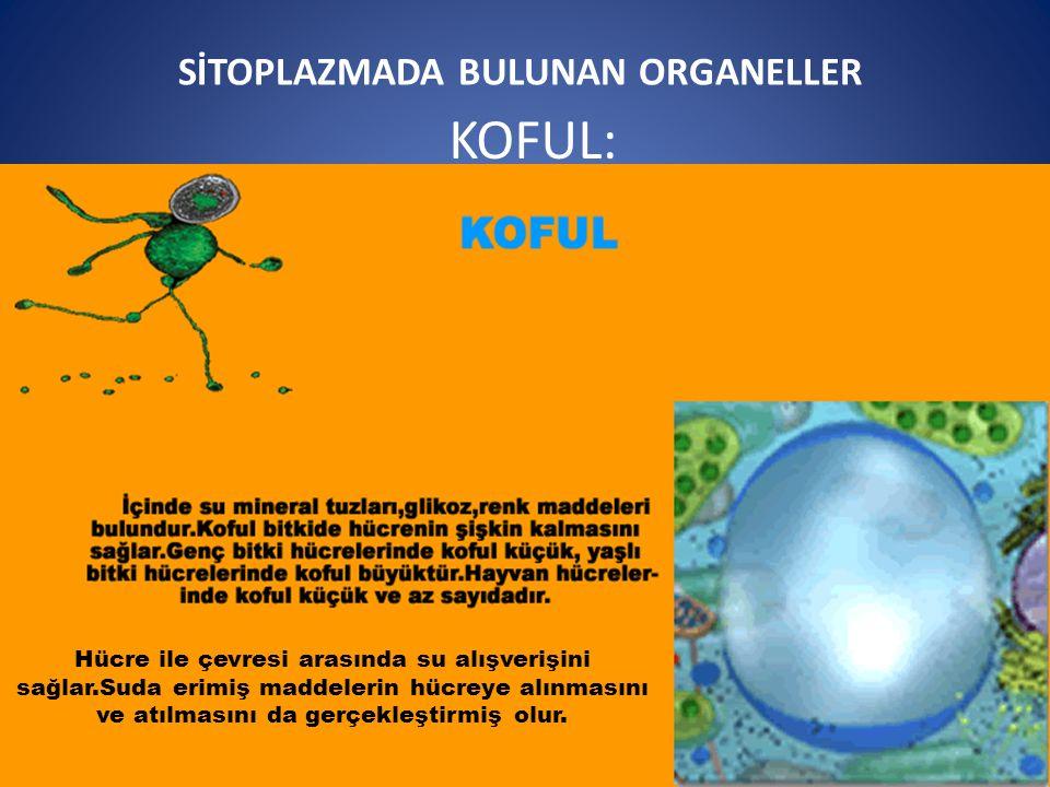 SİTOPLAZMADA BULUNAN ORGANELLER KOFUL: Hücre ile çevresi arasında su alışverişini sağlar.Suda erimiş maddelerin hücreye alınmasını ve atılmasını da gerçekleştirmiş olur.