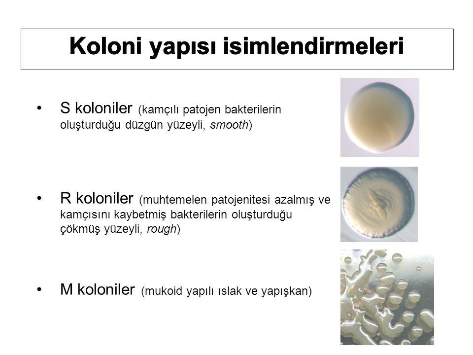 S koloniler (kamçılı patojen bakterilerin oluşturduğu düzgün yüzeyli, smooth) R koloniler (muhtemelen patojenitesi azalmış ve kamçısını kaybetmiş bakterilerin oluşturduğu çökmüş yüzeyli, rough) M koloniler (mukoid yapılı ıslak ve yapışkan)