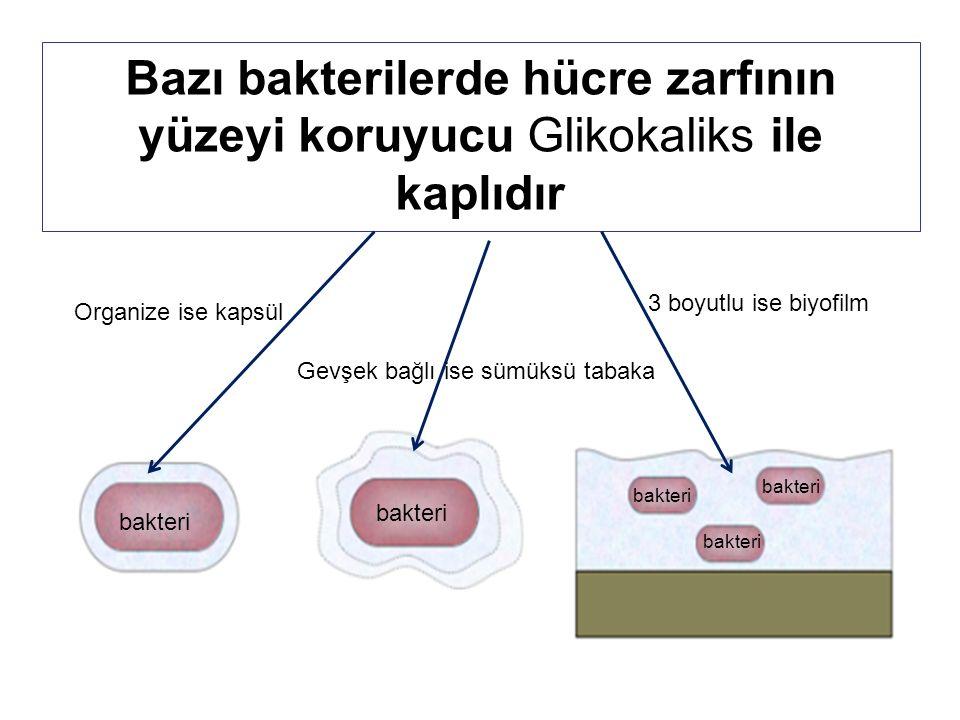 Bazı bakterilerde hücre zarfının yüzeyi koruyucu Glikokaliks ile kaplıdır Organize ise kapsül Gevşek bağlı ise sümüksü tabaka 3 boyutlu ise biyofilm bakteri