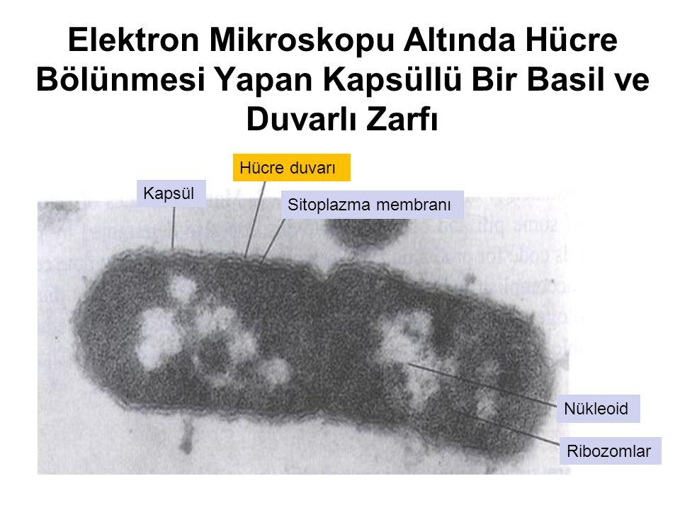 Elektron Mikroskopu Altında Hücre Bölünmesi Yapan Kapsüllü Bir Basil ve Duvarlı Zarfı Kapsül Ribozomlar Nükleoid Hücre duvarı Sitoplazma membranı