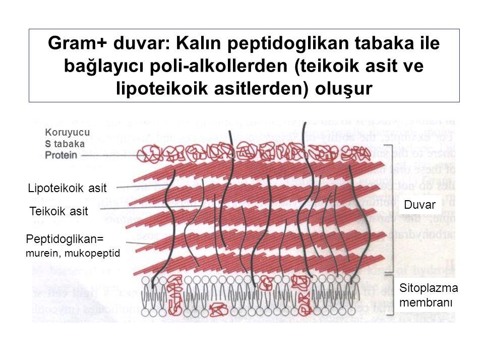 Gram+ duvar: Kalın peptidoglikan tabaka ile bağlayıcı poli-alkollerden (teikoik asit ve lipoteikoik asitlerden) oluşur Teikoik asit Lipoteikoik asit Peptidoglikan= murein, mukopeptid Sitoplazma membranı Duvar Koruyucu S tabaka