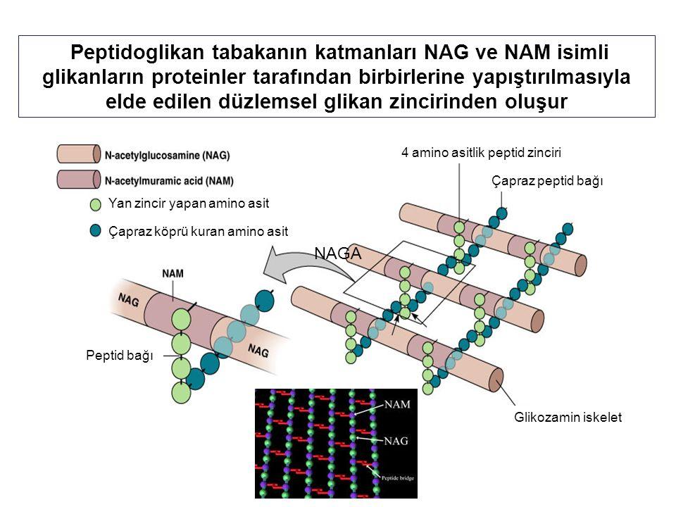 Peptidoglikan tabakanın katmanları NAG ve NAM isimli glikanların proteinler tarafından birbirlerine yapıştırılmasıyla elde edilen düzlemsel glikan zincirinden oluşur NAGA 4 amino asitlik peptid zinciri Çapraz peptid bağı Glikozamin iskelet Peptid bağı Çapraz köprü kuran amino asit Yan zincir yapan amino asit