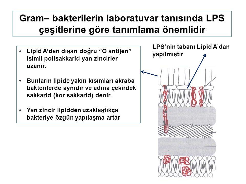 Gram– bakterilerin laboratuvar tanısında LPS çeşitlerine göre tanımlama önemlidir LPS'nin tabanı Lipid A'dan yapılmıştır Lipid A'dan dışarı doğru ''O antijen'' isimli polisakkarid yan zincirler uzanır.