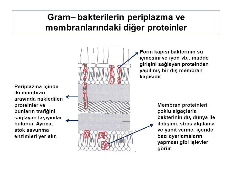 Gram– bakterilerin periplazma ve membranlarındaki diğer proteinler Porin kapısı bakterinin su içmesini ve iyon vb..
