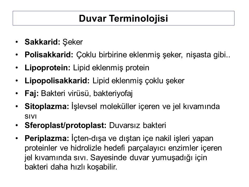 Duvar Terminolojisi Sakkarid: Şeker Polisakkarid: Çoklu birbirine eklenmiş şeker, nişasta gibi..
