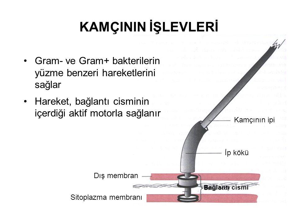 KAMÇININ İŞLEVLERİ İp kökü Kamçının ipi Bağlantı cismi Dış membran Sitoplazma membranı Gram- ve Gram+ bakterilerin yüzme benzeri hareketlerini sağlar Hareket, bağlantı cisminin içerdiği aktif motorla sağlanır