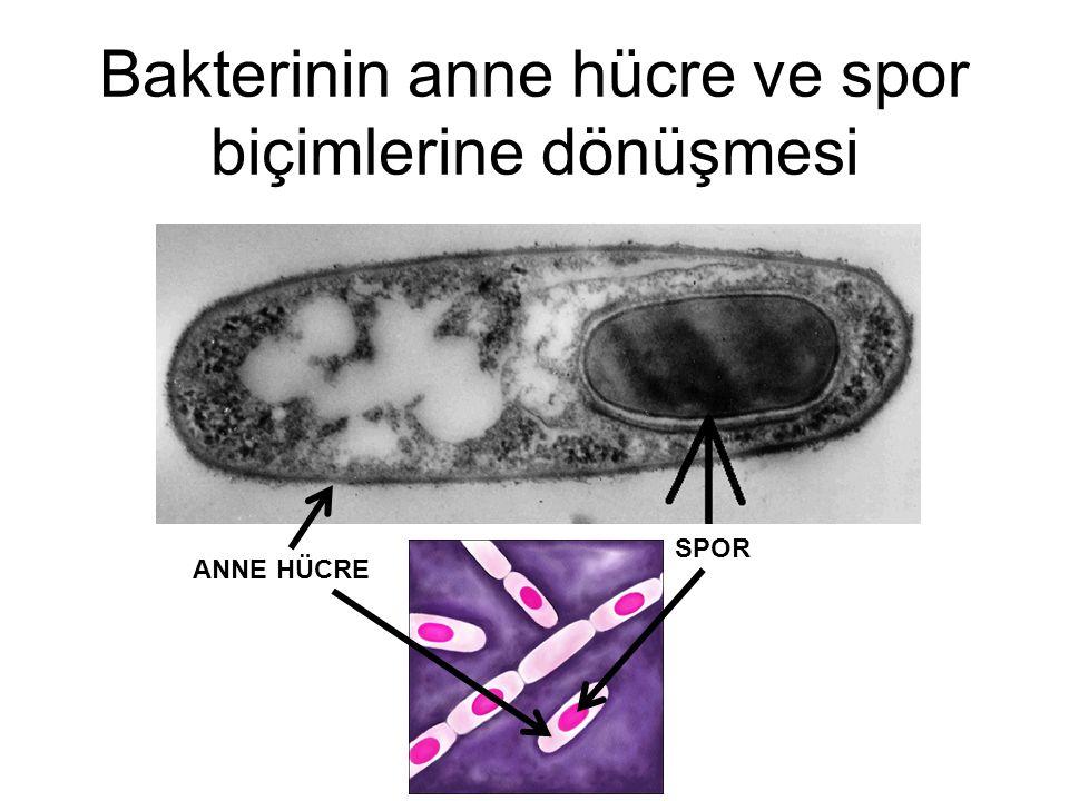 Bakterinin anne hücre ve spor biçimlerine dönüşmesi SPOR ANNE HÜCRE
