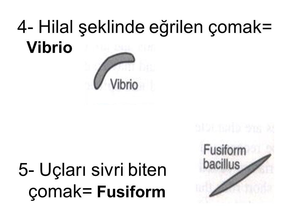 5- Uçları sivri biten çomak= Fusiform 4- Hilal şeklinde eğrilen çomak= Vibrio