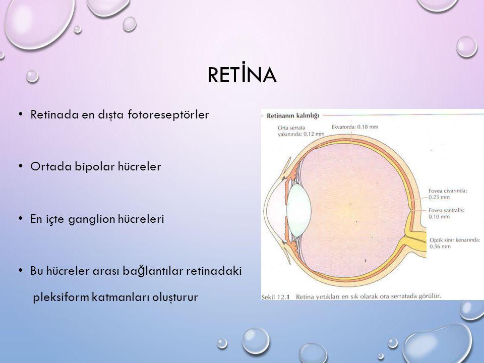 RET İ NA Retinada en dışta fotoreseptörler Ortada bipolar hücreler En içte ganglion hücreleri Bu hücreler arası ba ğ lantılar retinadaki pleksiform ka