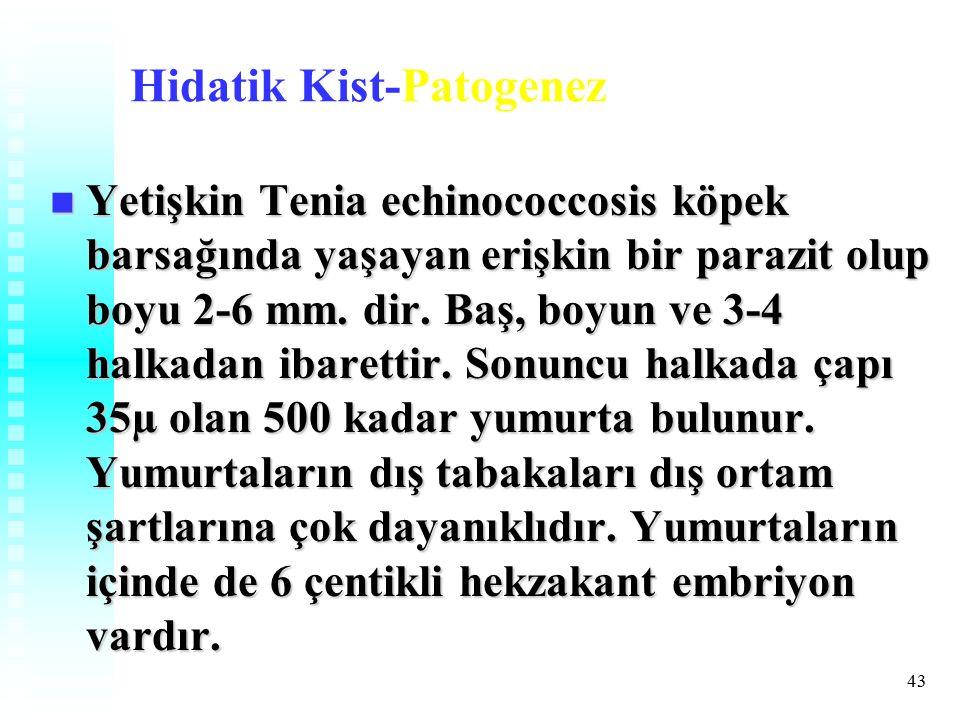 43 Hidatik Kist-Patogenez Yetişkin Tenia echinococcosis köpek barsağında yaşayan erişkin bir parazit olup boyu 2-6 mm.