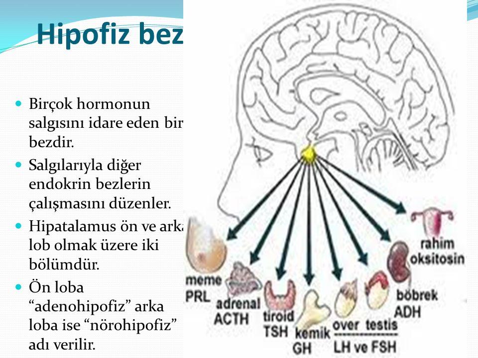 Hipofiz bezi Birçok hormonun salgısını idare eden bir bezdir. Salgılarıyla diğer endokrin bezlerin çalışmasını düzenler. Hipatalamus ön ve arka lob ol