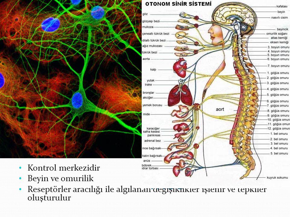 MSS Kontrol merkezidir Beyin ve omurilik Reseptörler aracılığı ile algılanan değişiklikler işlenir ve tepkiler oluşturulur