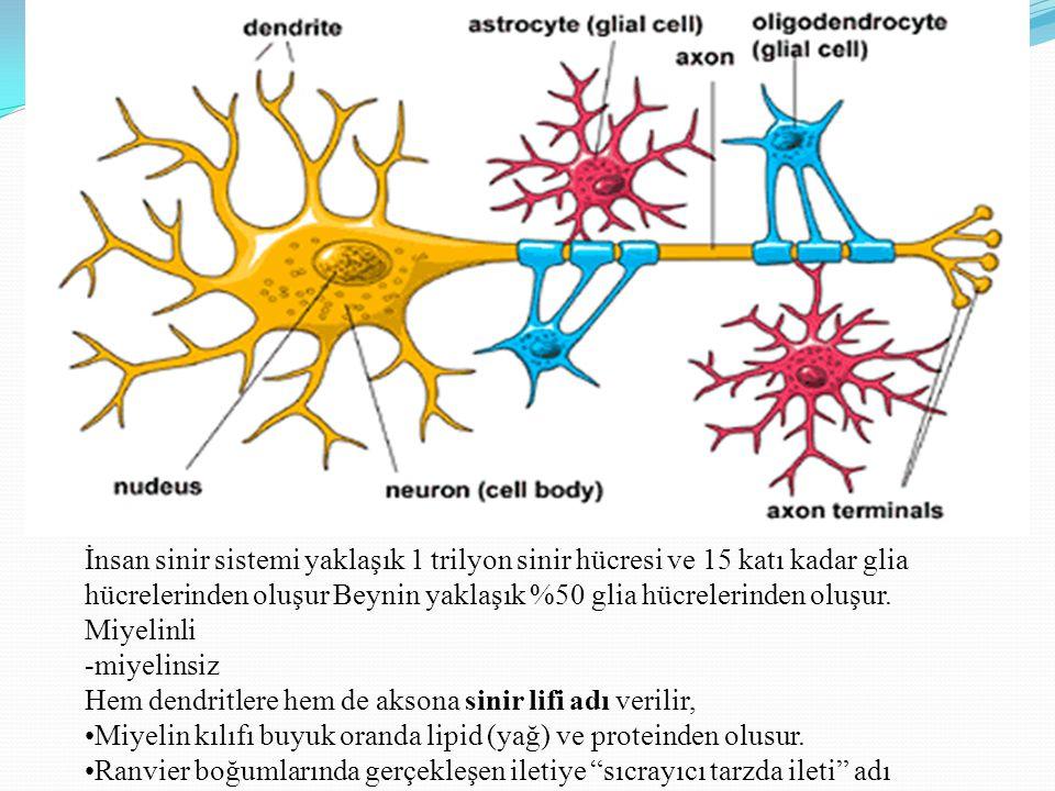 İnsan sinir sistemi yaklaşık 1 trilyon sinir hücresi ve 15 katı kadar glia hücrelerinden oluşur Beynin yaklaşık %50 glia hücrelerinden oluşur. Miyelin