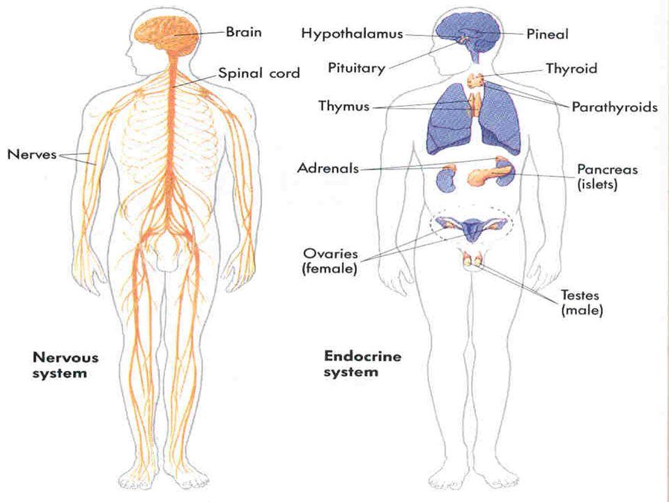 Endokrin bezler Hipofiz bezi Tiroid bezi Paratiroid bezi Adrenal Bez Pankreasın Langerhans adacıkları Testis ve ovaryum cinsellik bezleri