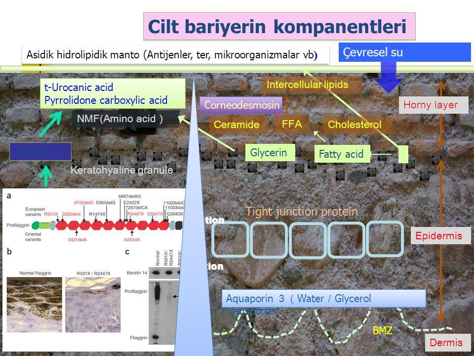 Keratohyaline granule Filaggrin NMF(Amino acid ) Epidermis Ceramide FFA Dermis Glycerin Fatty acid Tight junction protein BMZ Horny layer Intercellula