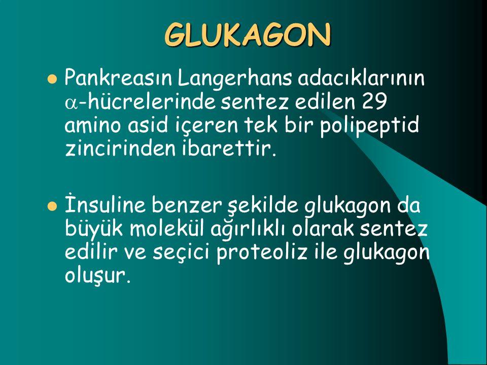 GLUKAGON Pankreasın Langerhans adacıklarının  -hücrelerinde sentez edilen 29 amino asid içeren tek bir polipeptid zincirinden ibarettir. İnsuline ben