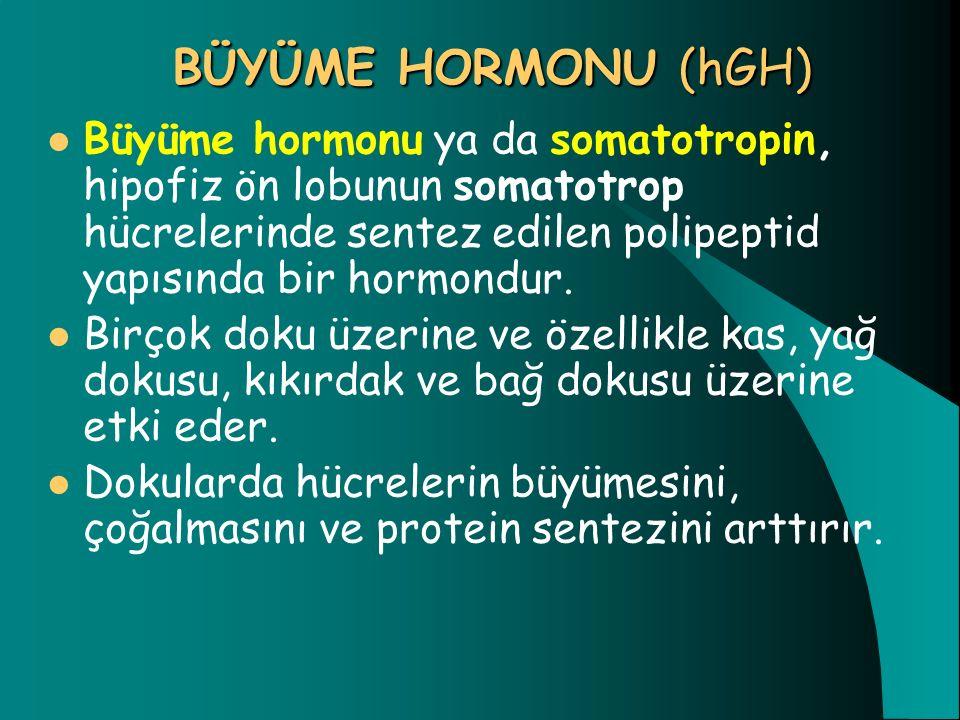 BÜYÜME HORMONU (hGH) Büyüme hormonu ya da somatotropin, hipofiz ön lobunun somatotrop hücrelerinde sentez edilen polipeptid yapısında bir hormondur. B