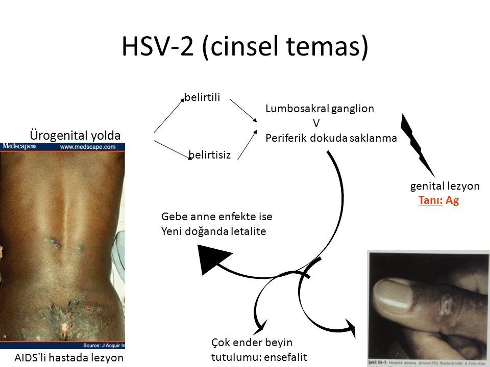 HSV-2 (cinsel temas) Ürogenital yolda belirtili belirtisiz Lumbosakral ganglion V Periferik dokuda saklanma genital lezyon Gebe anne enfekte ise Yeni doğanda letalite Çok ender beyin tutulumu: ensefalit Tanı: Ag AIDS ' li hastada lezyon