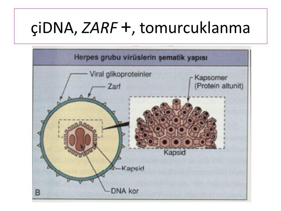 çiDNA, ZARF +, tomurcuklanma