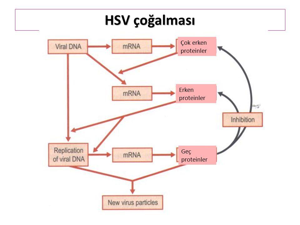 HSV çoğalması Çok erken proteinler Erken proteinler Geç proteinler