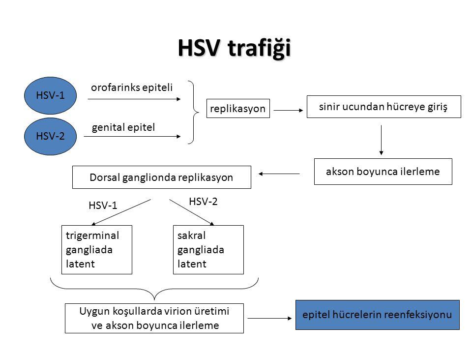 HSV trafiği orofarinks epiteli genital epitel replikasyon sinir ucundan hücreye giriş akson boyunca ilerleme Dorsal ganglionda replikasyon HSV-1 HSV-2 trigerminal gangliada latent sakral gangliada latent Uygun koşullarda virion üretimi ve akson boyunca ilerleme epitel hücrelerin reenfeksiyonu HSV-1 HSV-2