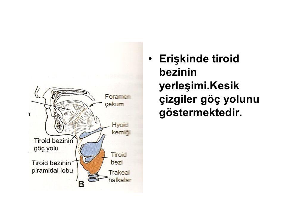 Erişkinde tiroid bezinin yerleşimi.Kesik çizgiler göç yolunu göstermektedir.