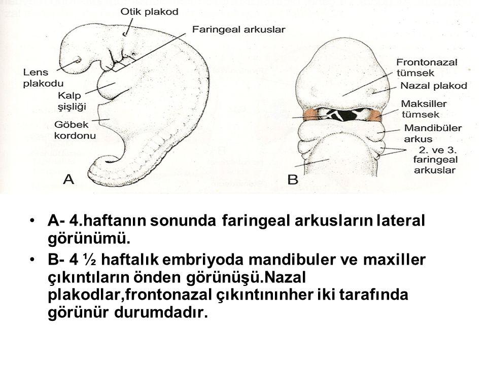 A- 4.haftanın sonunda faringeal arkusların lateral görünümü.