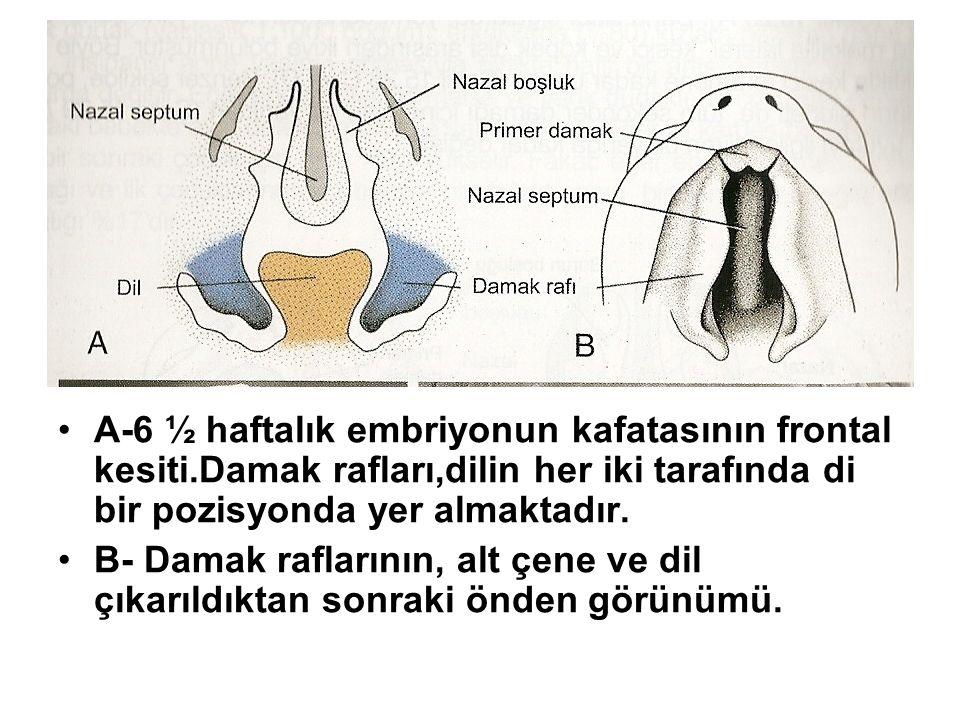 A-6 ½ haftalık embriyonun kafatasının frontal kesiti.Damak rafları,dilin her iki tarafında di bir pozisyonda yer almaktadır. B- Damak raflarının, alt