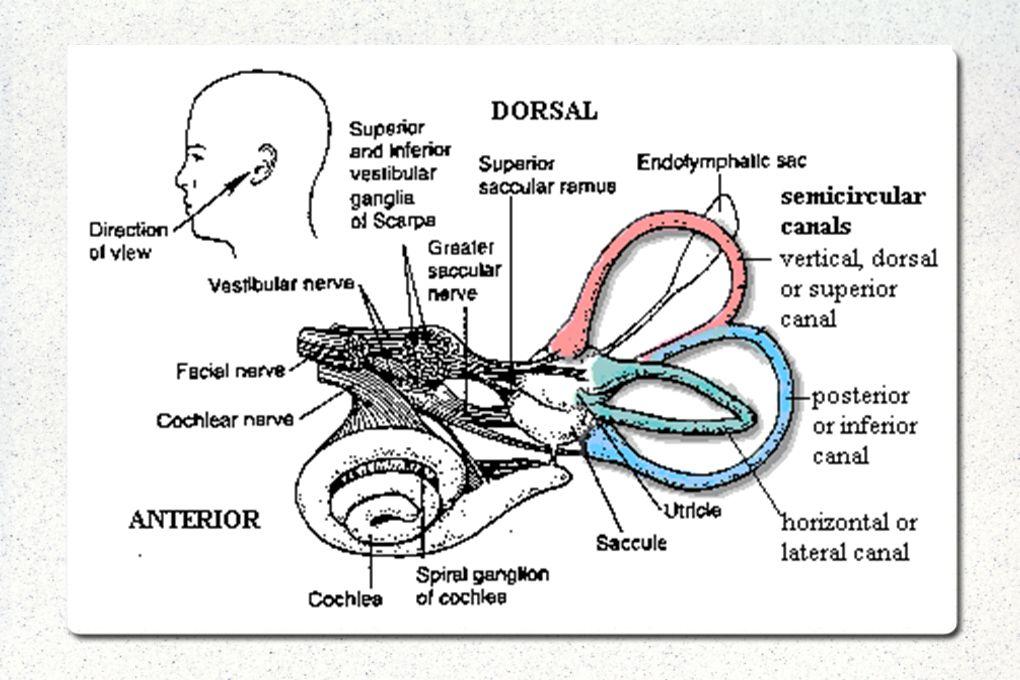 HİNTS (Head İmpulse, Nistagmus, Test of Skew) Yatakbaşı yapılan 3 test ile periferik-santral vertigo ayırımı yapılır Spesifite %96, Sensivite %100 Tek başına head impulse testinin sensivite/spesifitesi MR a benzer 1)Horizontal head impulse-Head thrust test: VOR i değerlendirir.