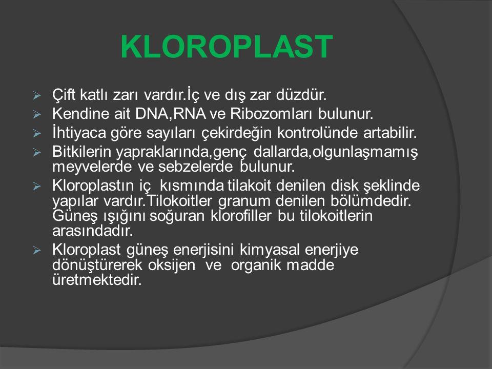 RİBOZOM ORGANELİ  Bütün canlı hücrelerde bulunur.