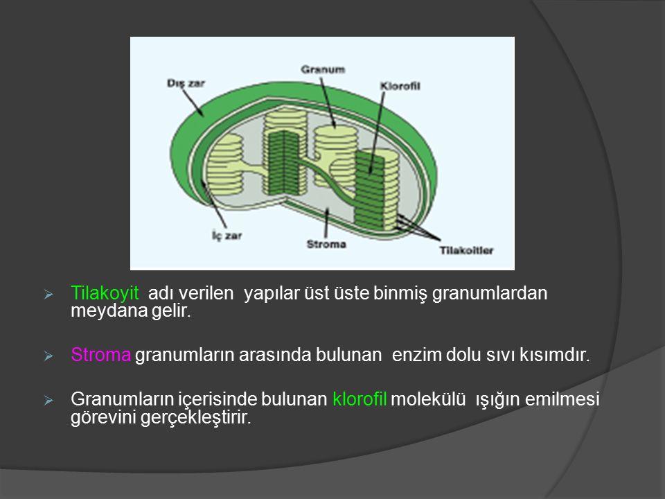 Ribozomların Yapısı