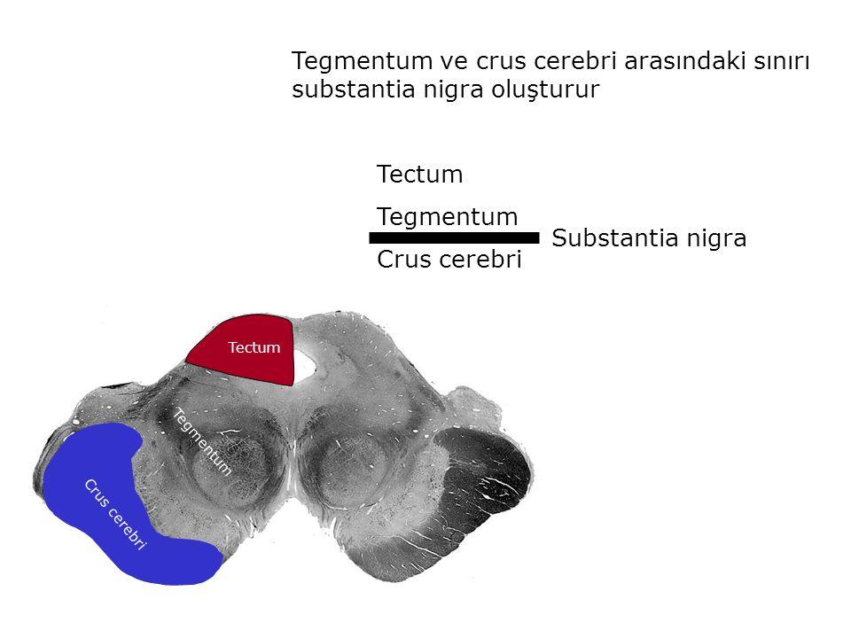 Tegmentum ve crus cerebri arasındaki sınırı substantia nigra oluşturur Tectum Tegmentum Crus cerebri Substantia nigra Crus cerebri Tectum Tegmentum
