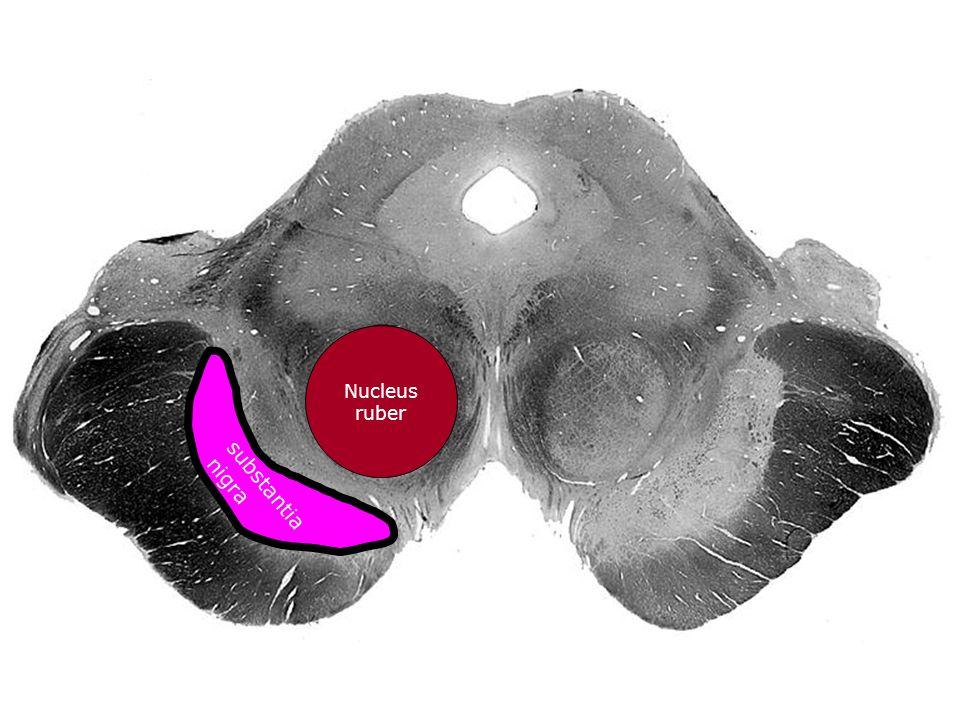 Nucleus ruber substantia nigra