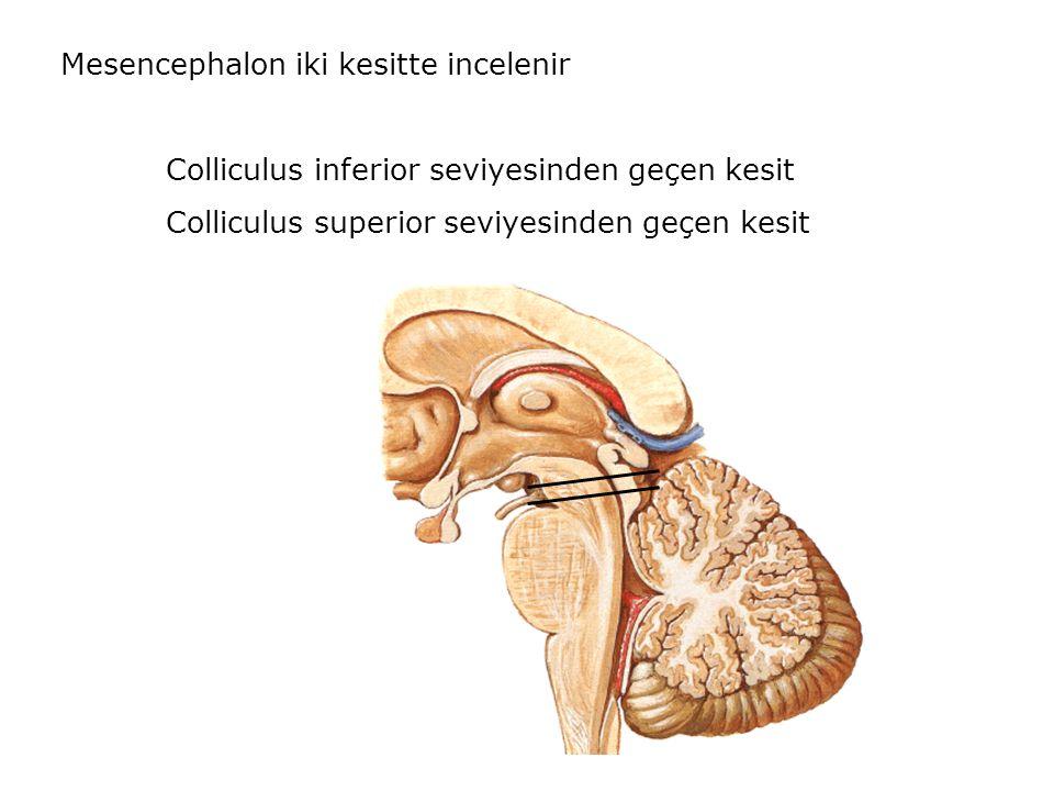 Mesencephalon iki kesitte incelenir Colliculus inferior seviyesinden geçen kesit Colliculus superior seviyesinden geçen kesit