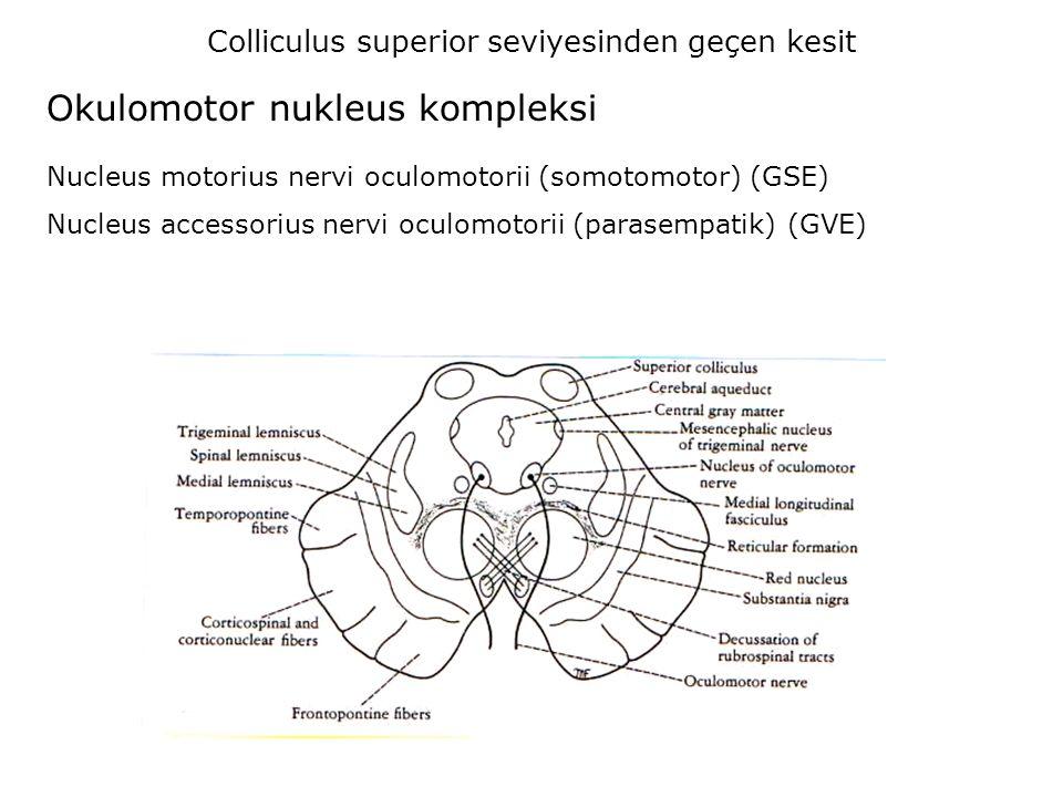 Okulomotor nukleus kompleksi Colliculus superior seviyesinden geçen kesit Nucleus motorius nervi oculomotorii (somotomotor) (GSE) Nucleus accessorius nervi oculomotorii (parasempatik) (GVE)