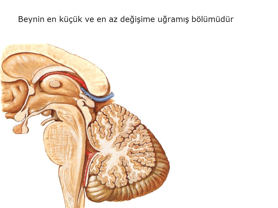 Nucleus colliculi inferioris Colliculus inferior adı verilen kabartının derininde bulunur İşitme refleks merkezidir Afferent liflerinin kaynağı Lemniscus lateralis Karşı taraf colliculus inferior Corpus geniculatum mediale Efferent lifleri Corpus geniculatum mediale Karşı taraf colliculus inferior Colliculus superior Colliculus inferior seviyesinden geçen kesit