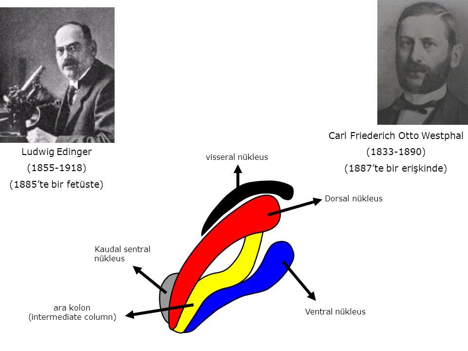 Carl Friederich Otto Westphal (1833-1890) (1887'te bir erişkinde) Ludwig Edinger (1855-1918) (1885'te bir fetüste) Kaudal sentral nükleus ara kolon (intermediate column) visseral nükleus Ventral nükleus Dorsal nükleus