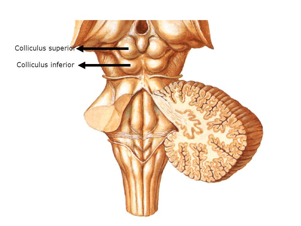Colliculus inferior Colliculus superior