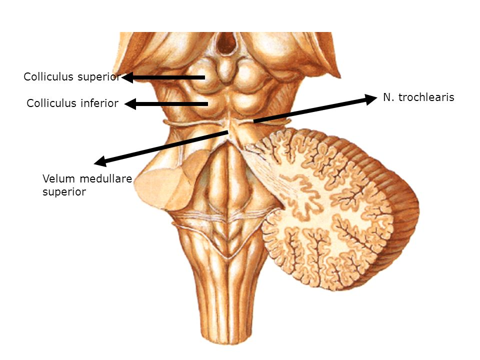 N. trochlearis Velum medullare superior Colliculus inferior Colliculus superior