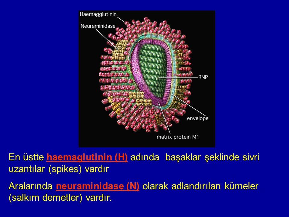 En üstte haemaglutinin (H) adında başaklar şeklinde sivri uzantılar (spikes) vardır Aralarında neuraminidase (N) olarak adlandırılan kümeler (salkım demetler) vardır.