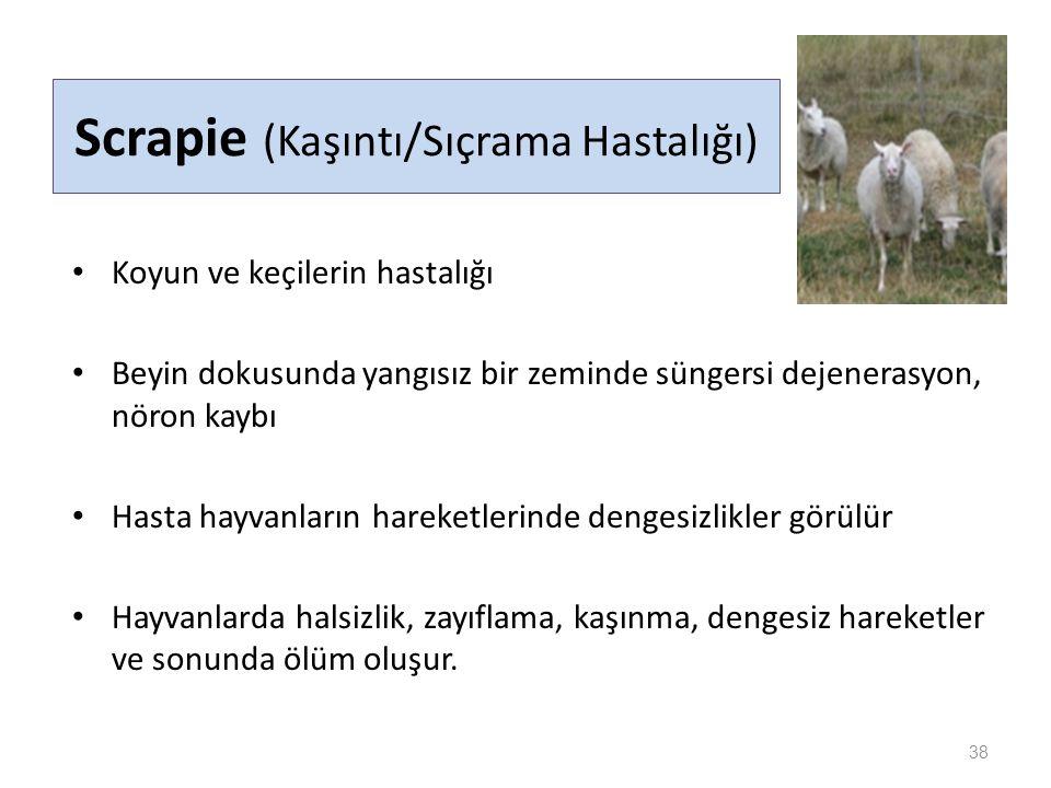 Scrapie (Kaşıntı/Sıçrama Hastalığı) Koyun ve keçilerin hastalığı Beyin dokusunda yangısız bir zeminde süngersi dejenerasyon, nöron kaybı Hasta hayvanların hareketlerinde dengesizlikler görülür Hayvanlarda halsizlik, zayıflama, kaşınma, dengesiz hareketler ve sonunda ölüm oluşur.