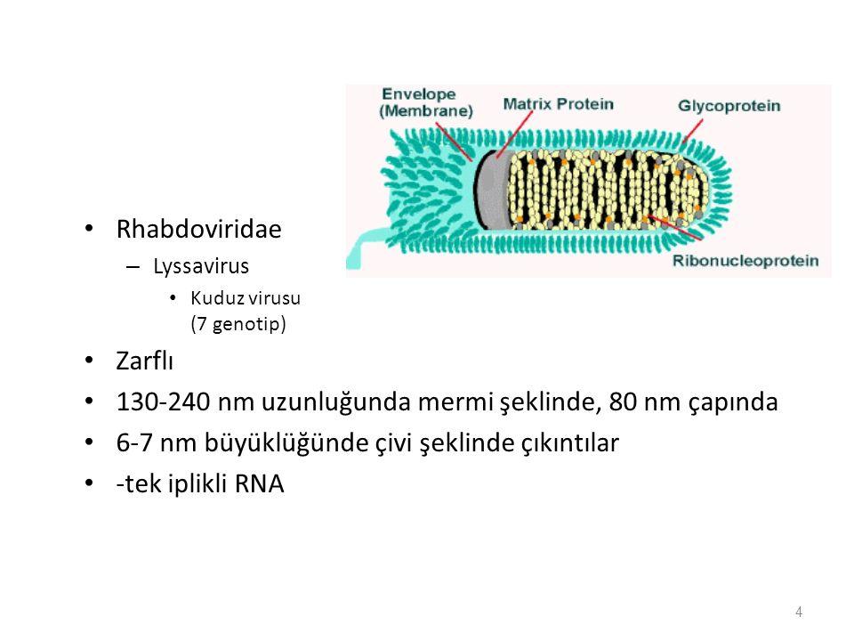 Rhabdoviridae – Lyssavirus Kuduz virusu (7 genotip) Zarflı 130-240 nm uzunluğunda mermi şeklinde, 80 nm çapında 6-7 nm büyüklüğünde çivi şeklinde çıkıntılar -tek iplikli RNA 4