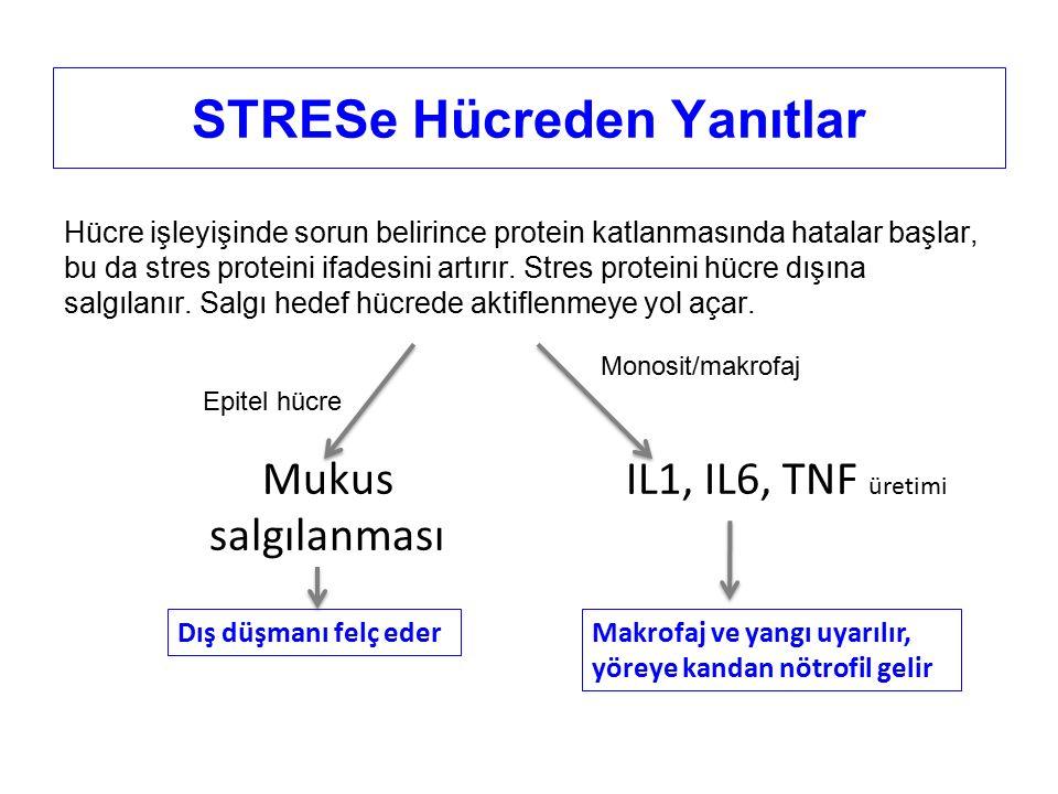 STRESe Hücreden Yanıtlar Hücre işleyişinde sorun belirince protein katlanmasında hatalar başlar, bu da stres proteini ifadesini artırır.
